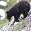 sure footed , a small Black Bear tries a new route down Signal Mt. Grand Tetons N.P.,Wyoming