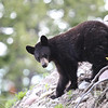 a young Black Bear, traveling the hill sides of Signal Mountain, Grand Tetons N.P.