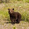 Grizzly Cub_9019_9x12