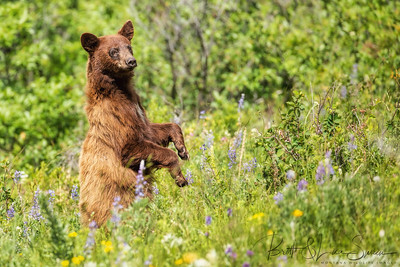 Cinnamon Black Bear Stands in Wildflowers
