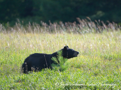 Black bear in late afternoon sun (2)