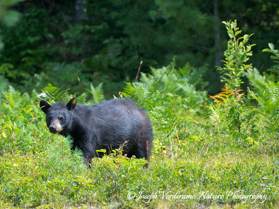 Black bear in blueberry patch (1)