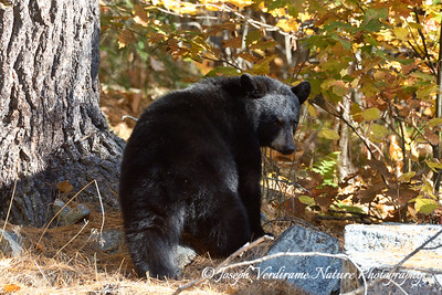 Curious young black bear