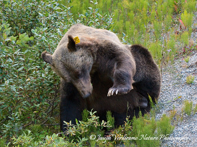 Grizzly stops to scratch