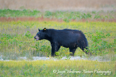 Black Bear in blueberry patch (3)