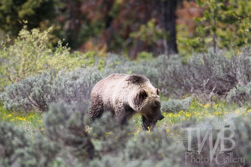 """Blondie"" grizzly near Colter Bay ,Grand Teton N.P."