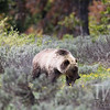 """Blondie"" grizzly near Colter Bay ,Grand Teton N.P."
