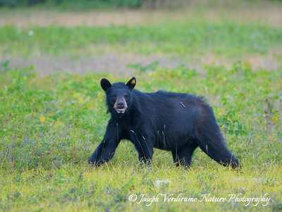 Watchful black bear (3)