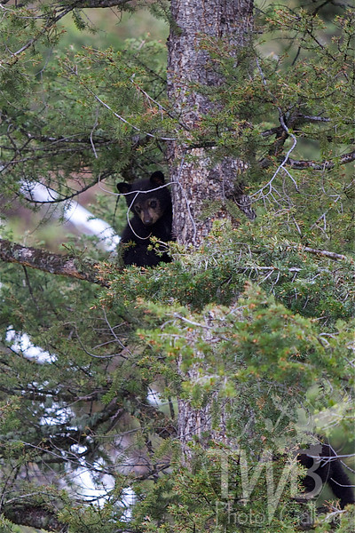 a view from above, small Black bear cub, sibling close behind, enjoying the pine trees, high above mom, near Tower , Yellowstone