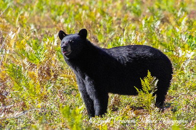 Black bear sow in blueberry patch (1)