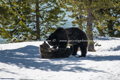 Grizzly bear and her yearling cub play wrestling