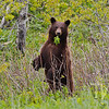 a brown-colored Black Bear, takes a break from grazing to check out the surroundings