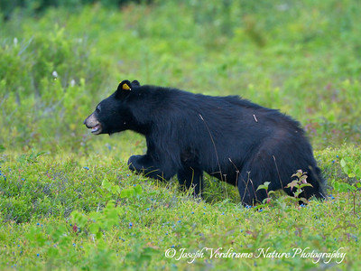 Black bear in blueberry patch (5)