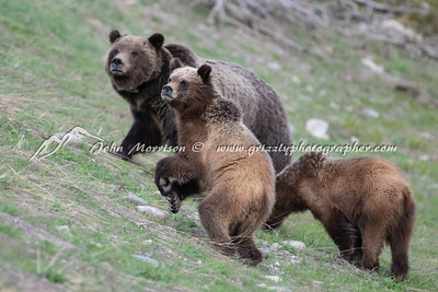Grizzly bear 399 and her yearling cubs