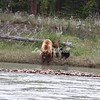 Cinnamon Bear with cubs
