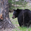 evening grazing, Black Bear in Lamar Valley, Yellowstone N.P.
