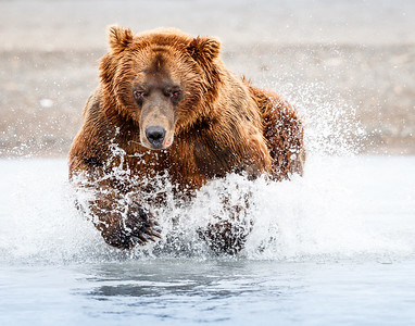bear fishing 2