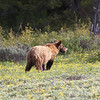 1 1\2 year old Grizzly near Colter Bay, Grand Tetons