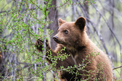 Baby Black Bear and Baby Larch