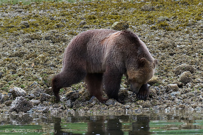 Grizzly Bear moving rocks