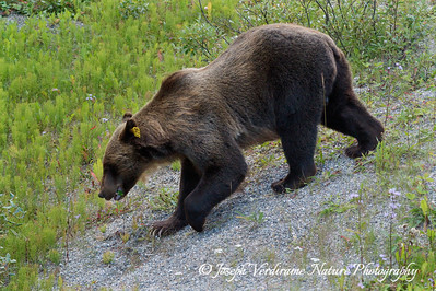 Young male grizzly ambles down slope (1)