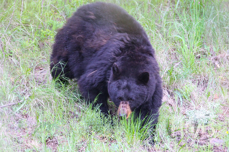 """""""checking us out"""" black bear  Tower, Yellowstone N.P."""