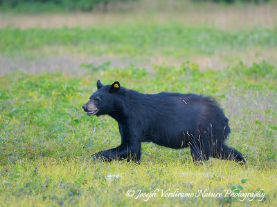 Black bear in blueberry patch (4)