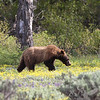ranging out , a young 1 1\2 year old grizzly , exploring