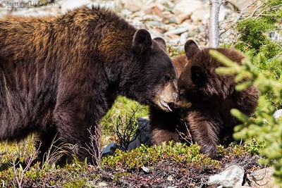 Mama Black Bear and Cub