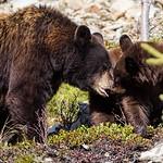 Mama Black Bear and Cub