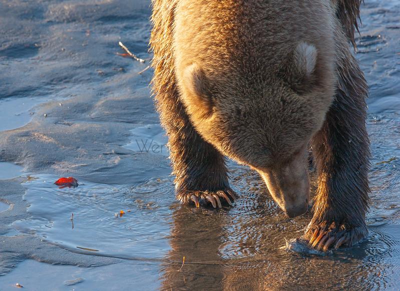 Betty, simply the sweetest Kodiak Bear I ever spent a summer watching.