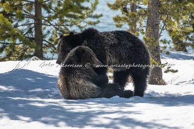 Grizzly bear and her cub play wrestling
