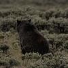 Quad Mom Grizzly cub 2012