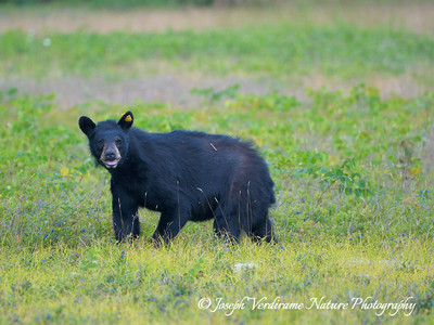 Watchful black bear (5)