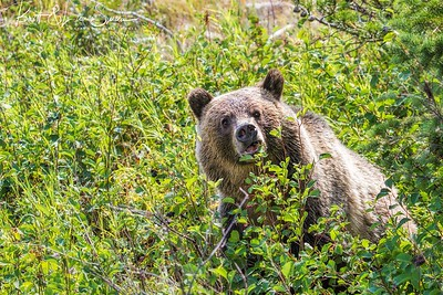 Grizzly Bear Eating Serviceberries