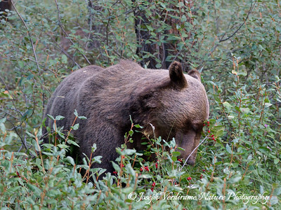 Grizzly feeding on berries