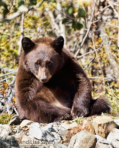 Brown Black Bear Cub