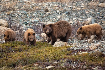 Mama Black Bear Watches Over Her Cubs