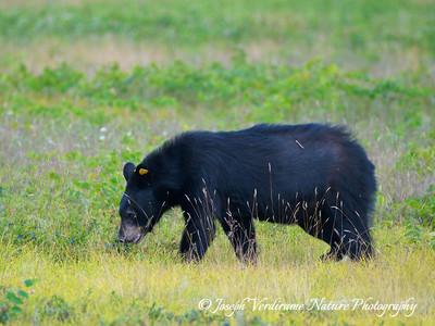 Black bear enjoying blueberries