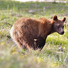 a 1 1\2 year old grizzly moving through Colter Bay area of Tetons