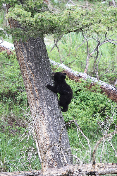 a natural climber, a very young black bear cub scampers  easily up a tree, near Tower, Yellowstone