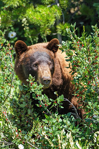 Cinnamon Black Bear and Berries #2