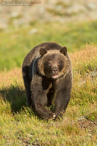 Grizzly Bear on the Move