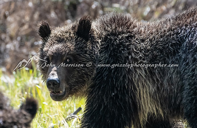Grizzly bear - one of #399 cubs