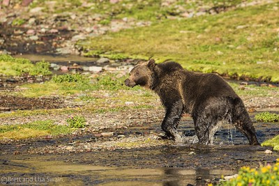 Grizzly Bath Time