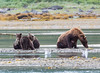 Three little Alaskan Grizzly Cubs.