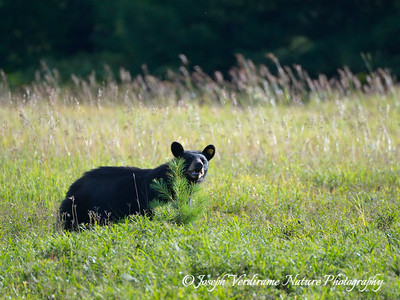 Black bear in late afternoon sun (1)