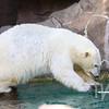 keeping sharp in the water , a Polar Bear