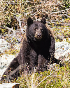 Multi-colored Black Bear