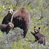 """mom , check this out"" grizzly with three cubs, Grand Tetons, mid-june"